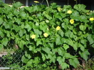 Luffa growing on chain link fence.