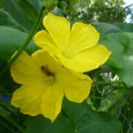 showy, bright yellow flowers attract bees which are important for pollinating this plant.